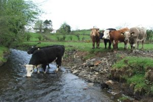 cows river access